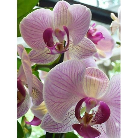 Orchids, Phalaenopsis