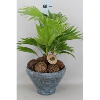 "Livistona ""Rotundifolia"""