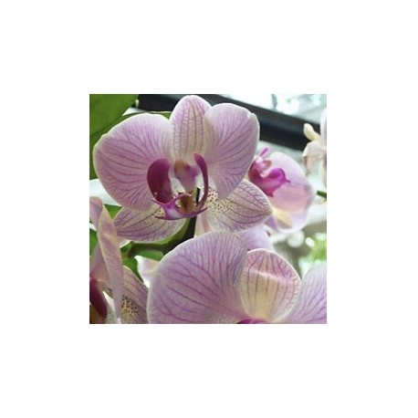 Orchids, Phalaenopsis